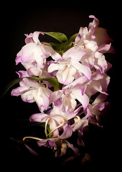 Dendrobium Nobile by Stuart463