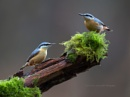 Nuthatch duo by SurreyHillsMan
