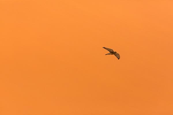 Greater Kestrel at Sossusvlei by rontear