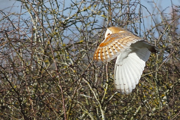 Barn Owl Flight by TerryMcK