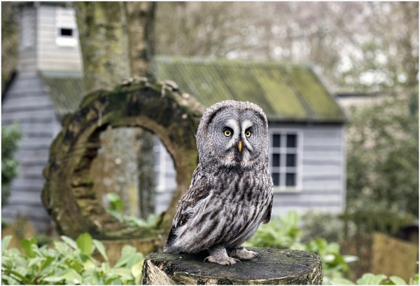 Great Grey Owl by Lillian