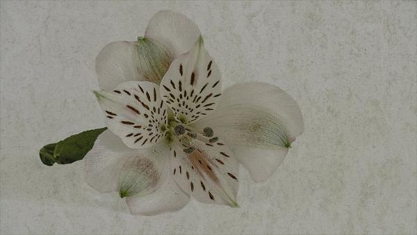 lily by judidicks