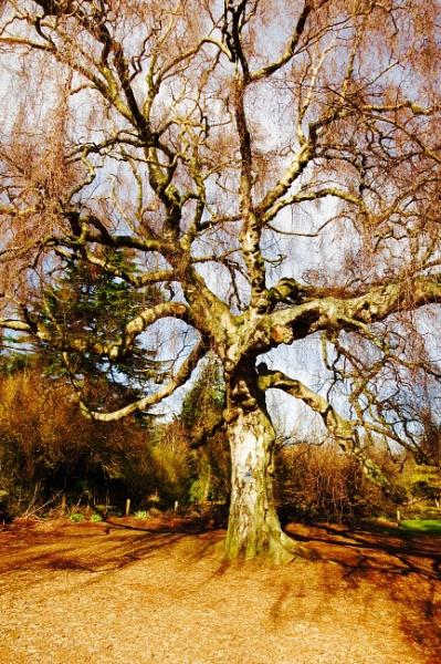 Silver birch by derekp