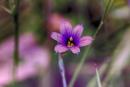 Blue - Eyed Grass by gconant
