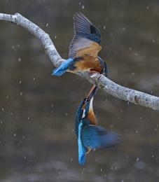 Fighting Kingfishers hanging by beak