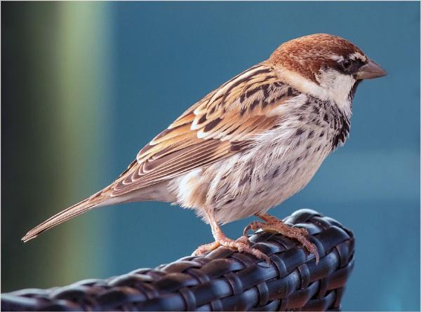 Canarian Sparrow by DicksPics
