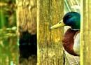 Duck lookout by georgiepoolie