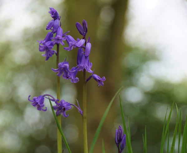 Spring image Bluebells. by georgiepoolie