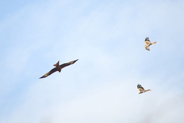 Three Red Kites In Flight by AlexandraSD
