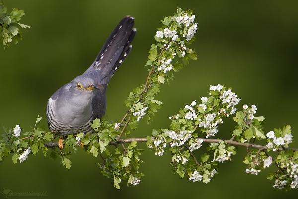 Cuckoo by zimen