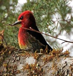Red Sapsucker