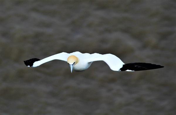 Gannet by markjnorris