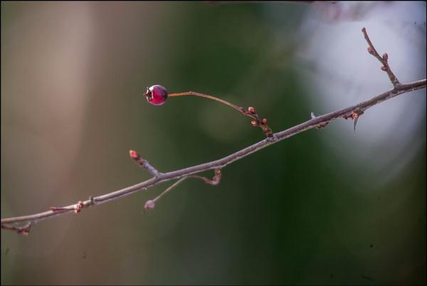 Hawthorn Berry by civitas