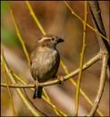 Female Sparrow by civitas