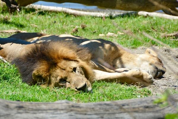 Lion love by jhaslam4