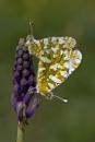 Eastern Dappled Whites by mattberry
