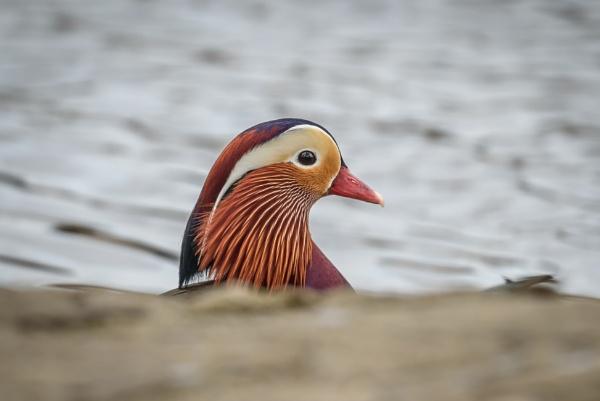 Shy Mandarin Duck by Kevin63