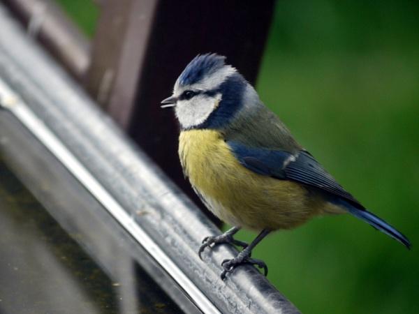 Blue tit (Cyanistes caeruleus) by DerekHollis
