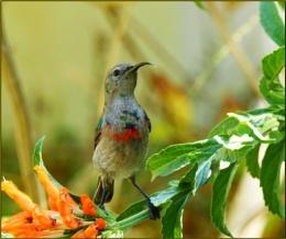 Lesser double collared sunbird juvenile male