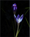 Two Croci by taggart