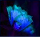 bluerose... by estonian