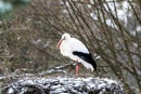 Stork on Ice by aldasack1957