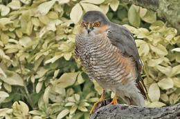 Sparrowhawk--Accipiter nisus