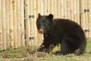 Moon Bears-Ursus thibetanus. by bobpaige1