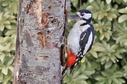 Great Spotted Woodpecker (F) Dendrocopus major.