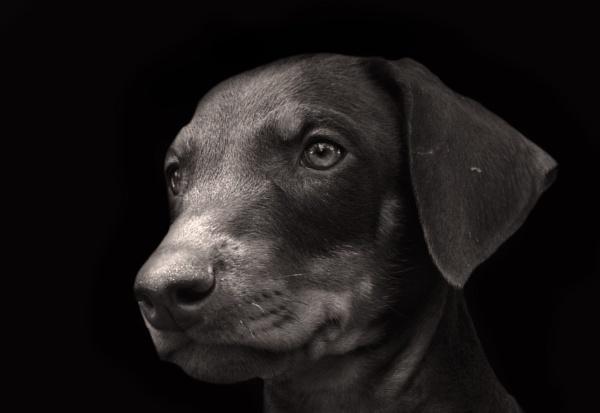 The Doberman puppy portrait by kingmukherjee
