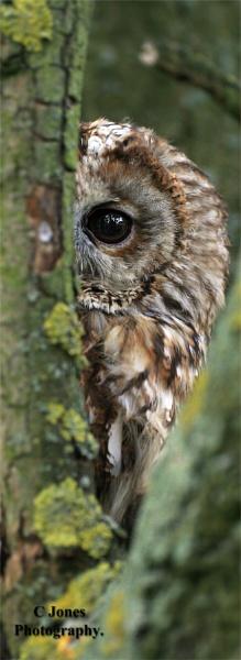 Tawny Owl. by cjones