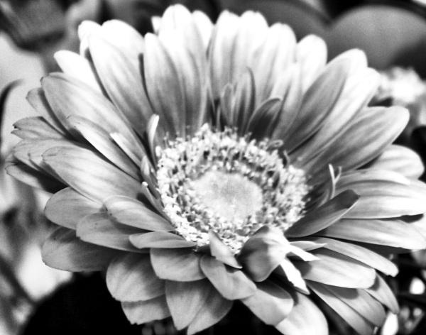 Chrysanthemum (bw) by KrazyKA