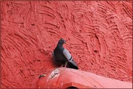 *** Rock Pigeon ***