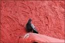 *** Rock Pigeon *** by Spkr51