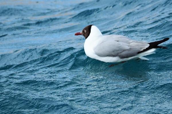 *** Black-headed Gull *** by Spkr51