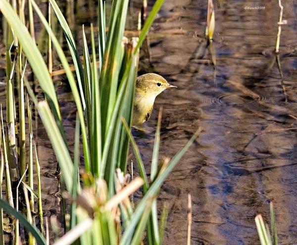Reed Warbler by DaveNewbury