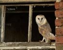 Barn Owl by KBan