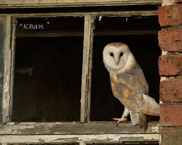 Barn Owl by KBan