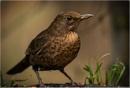 Blackbird(female) by dven