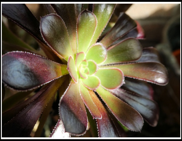 AEONIUM by Rock