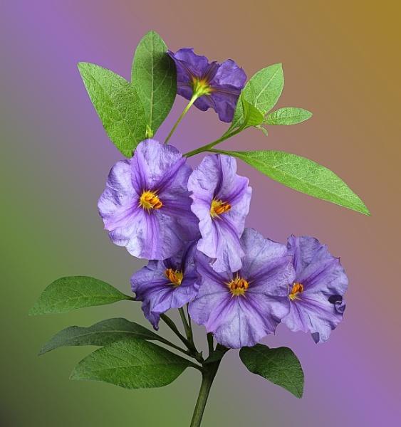Solanum by pamelajean