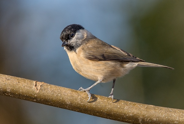 Marsh tit by Mike_Young