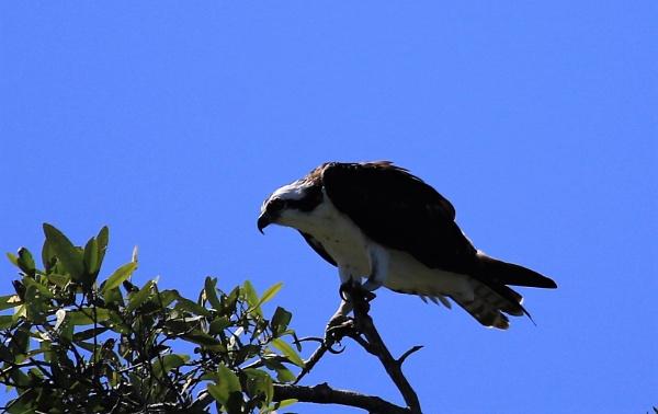 Osprey by agednovice