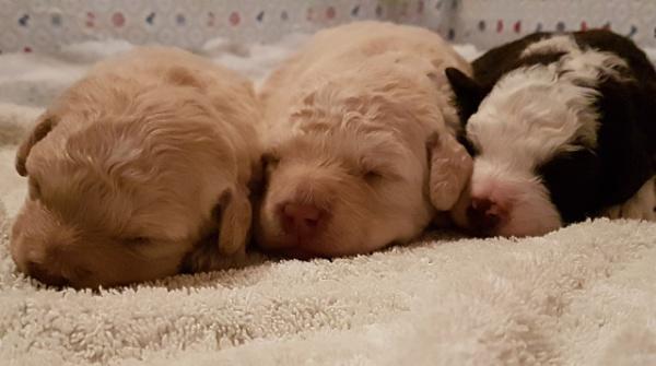 Labradoodle Pups by StephenDM