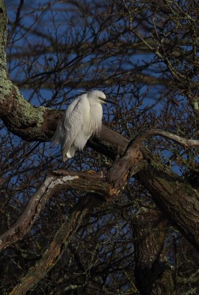 Little Egret by colinryan