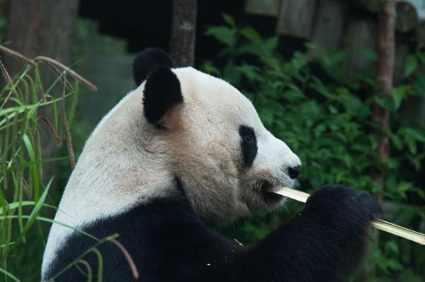 Panda by elmer1