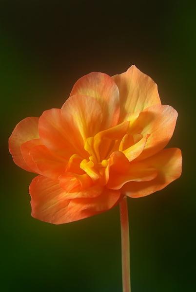 Begonia Flower by TonyDy