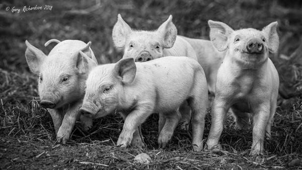 piglets by djgaryrichardson