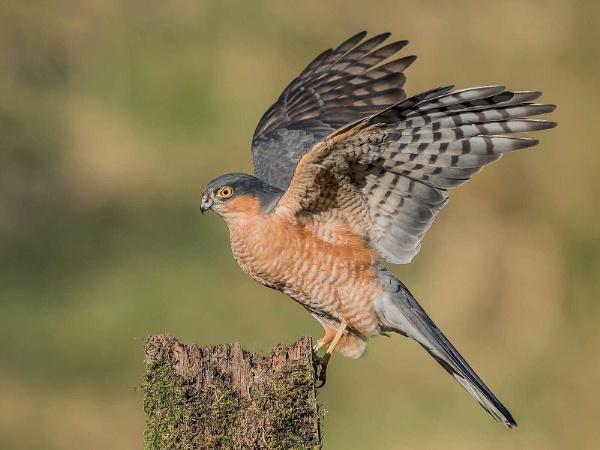 Male Sparrowhawk by Jamie_MacArthur