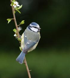 Spring Time Blue Tit